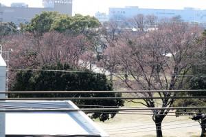 桜 開花前(圧縮)