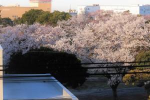 桜 開花(圧縮)
